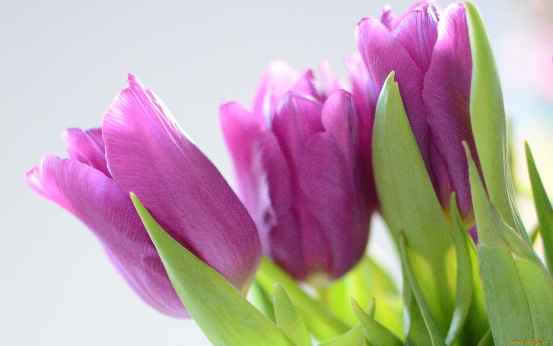 так тюльпаны в коробке картинки на фоне полосатых обоев сиреневых предлагаем вам
